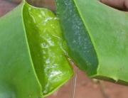 Gel-Aloe-Vera11